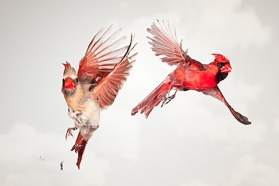 mr_and_mrs_cardinal_comp_1.jpg